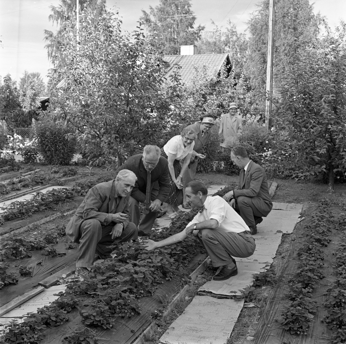 Trädgårdsordlare. Fyra kostymklädda män sitter på huk intill en rad med jordgubbsplantor. Tre kvinnor tittar på. Platsen kan möjligen vara Högsta koloniområde.