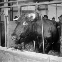 Pressvisning, mjölkko, Ultuna, Uppsala 1947