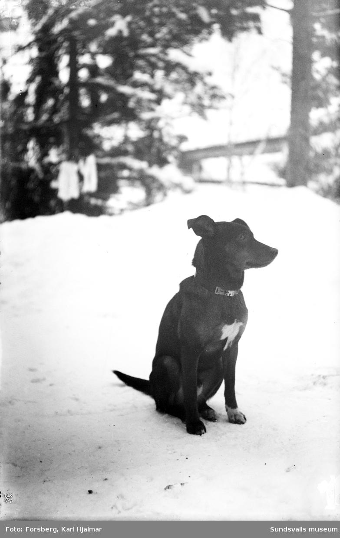 """""""Gustav Bergmans hund""""."""