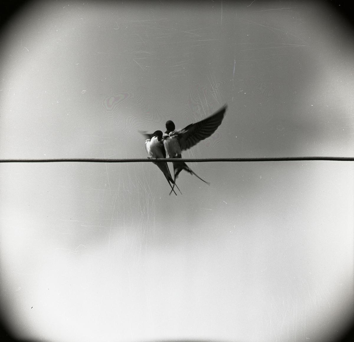 Två fåglar sitter på en elledning, juni 1962.