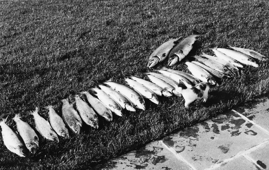 Fin samling svidde/laks fiska av Ole Gabriel Ueland (1927 - 1988). Sjå også 1988.5TIM.9.006