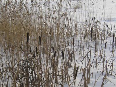 Foto av dunkjevle i vinterbakgrunn. Foto/Photo