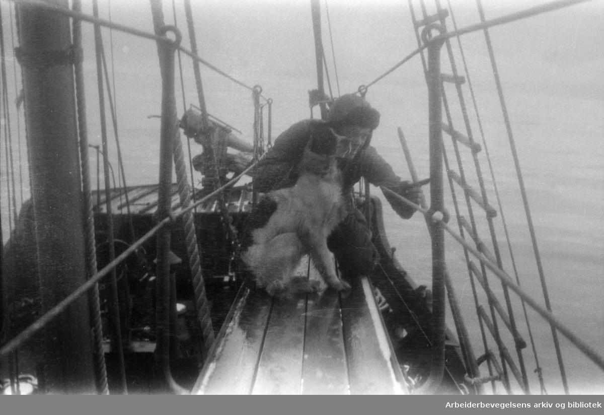 Hvalfangere. Arbeid på dekk. Harpunskytter med hund. 1930-tallet. Ukjent sted.