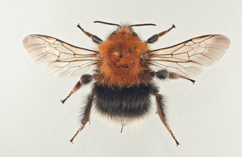 Trehumle Bombus hypnorum (Foto/Photo)