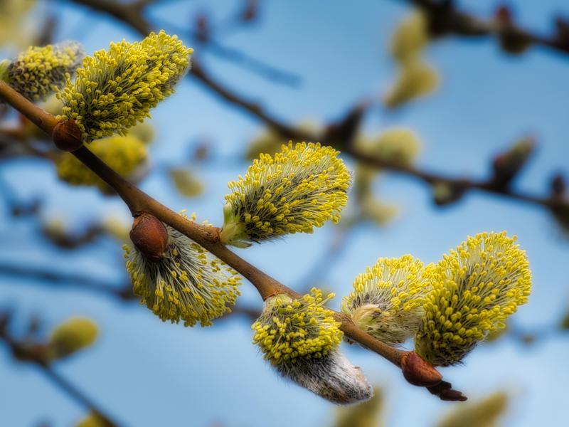 Seljeblomster, «gåsunger», er en viktig matkilde for mange humledronninger tidlig på våren.
