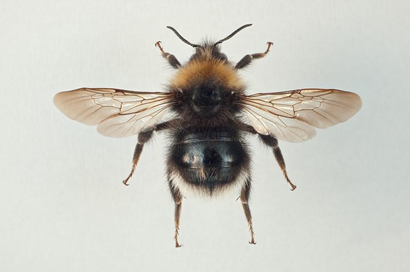 Markgjøkhumle Bombus sylvestris (Foto/Photo)