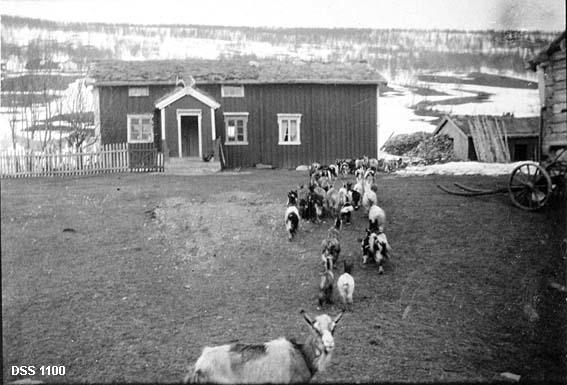 Fra tunet på bruket Ivarsli i Susendalen, Hattfjelldal.  Fotografiet viser en geiteflokk på veg over tunet mot enden av våningshuset, en halvannenetasjes, bordkledd bygning med vindfang foran hoveddøra på langveggen.  I gavlen her henger et reinsdyrgevir.  Fra inngangen mot venstre står et stakitt.  Til høyre for våningshuset ses et bordkledd vedskur og hjørnet på en laftet bygning.  Ved dette hjørnet står noe som later til å være understellet til ei kjerre.