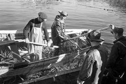 Serie. Brislingfiske i Hvervenbukta, Oslo. Fotografert: 196