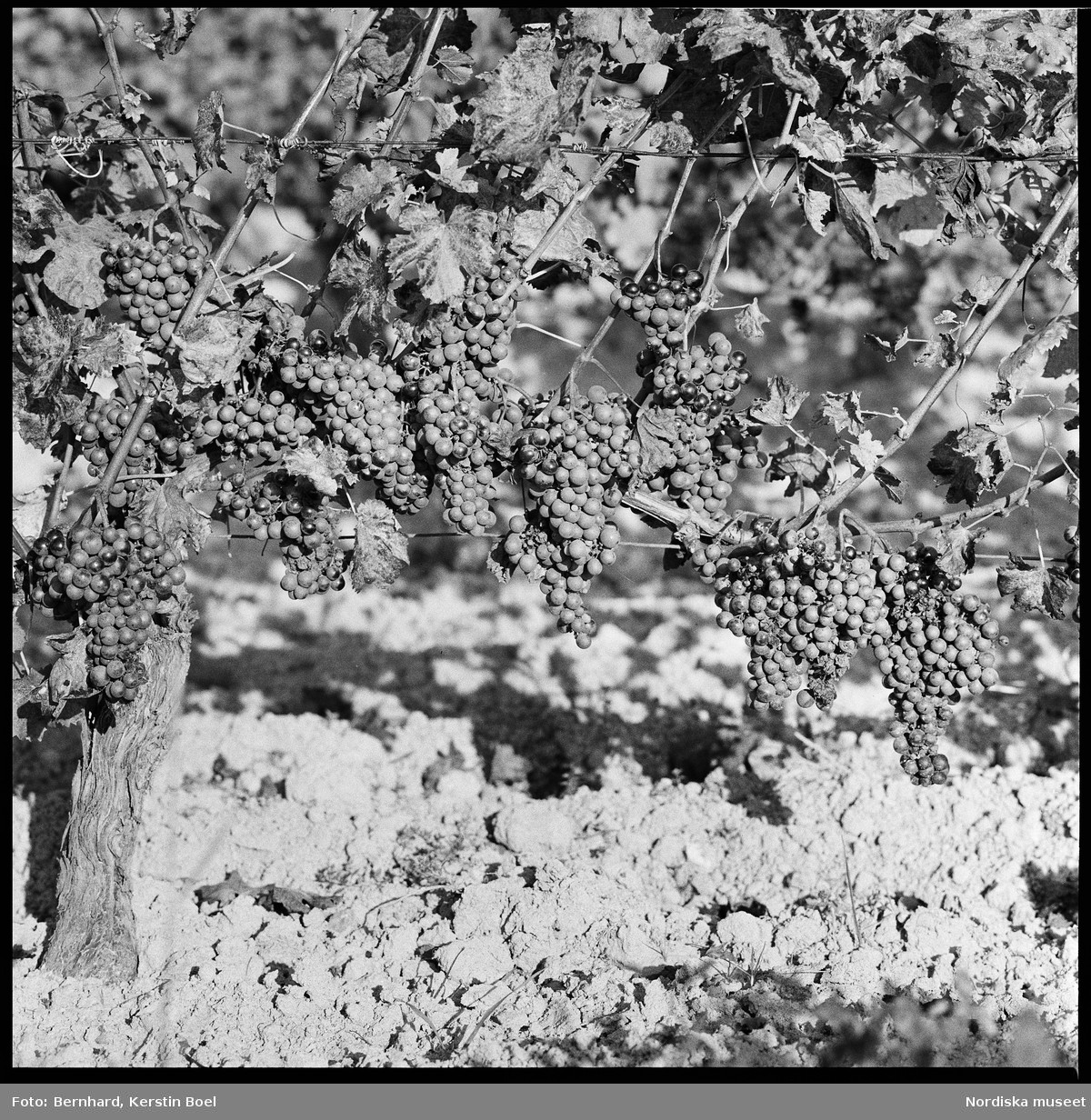 Frankrike, Loire-dalen, Muscadet. En del av vingården.