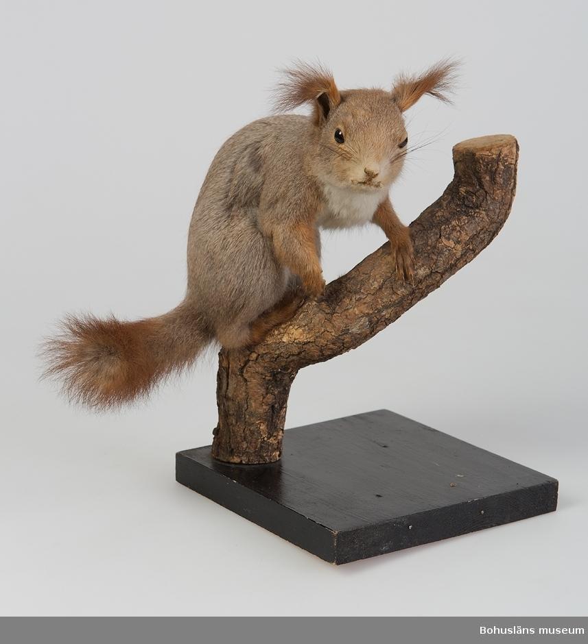 Ekorre, vinterdräkt. Kba 33 Djuret sitter på en grov gren vilken är fastsatt på en svartmålad träplatta.  Ur handskrivna katalogen 1957-1958: Ekorre