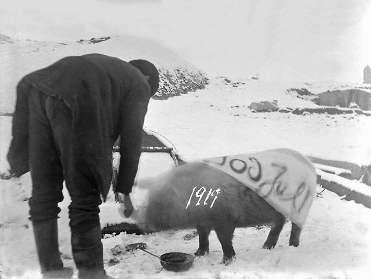 Julgrisen ska slaktas på Skistad Västergård i Kville 1919