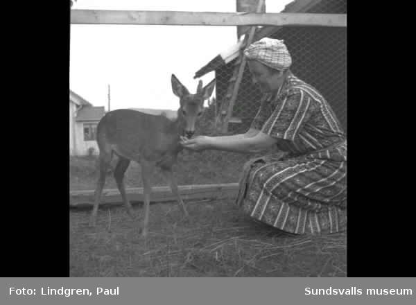 Fäbodvall med husdjur, man bär en spånkont för hö. Kvinna matar ett tamt rådjur.