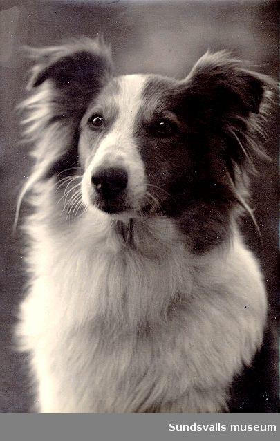 Porträtt av Maria kihlbaums långhåriga colliehund.