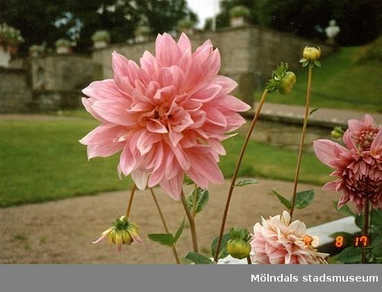 Blommande rosa Dahlior och en mur som ses i bakgrunden. Gunnebo slottsträdgård, augusti 1990.