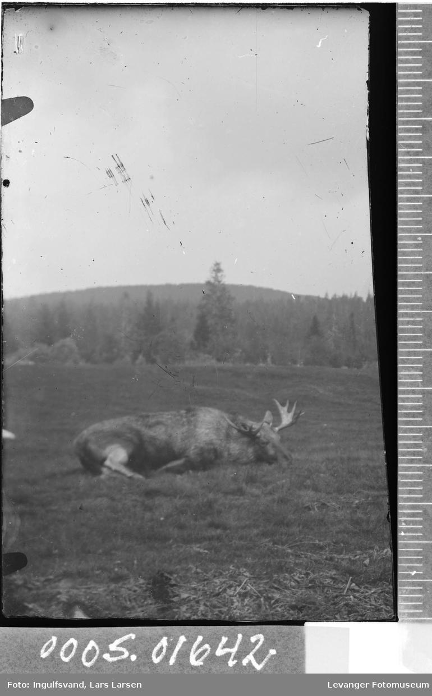 En død elg med skog i bakgrunnen.