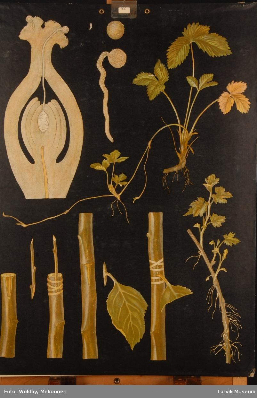 Plansje nr. 15, plantenes forplantning, 6 tegninger av ulike planter