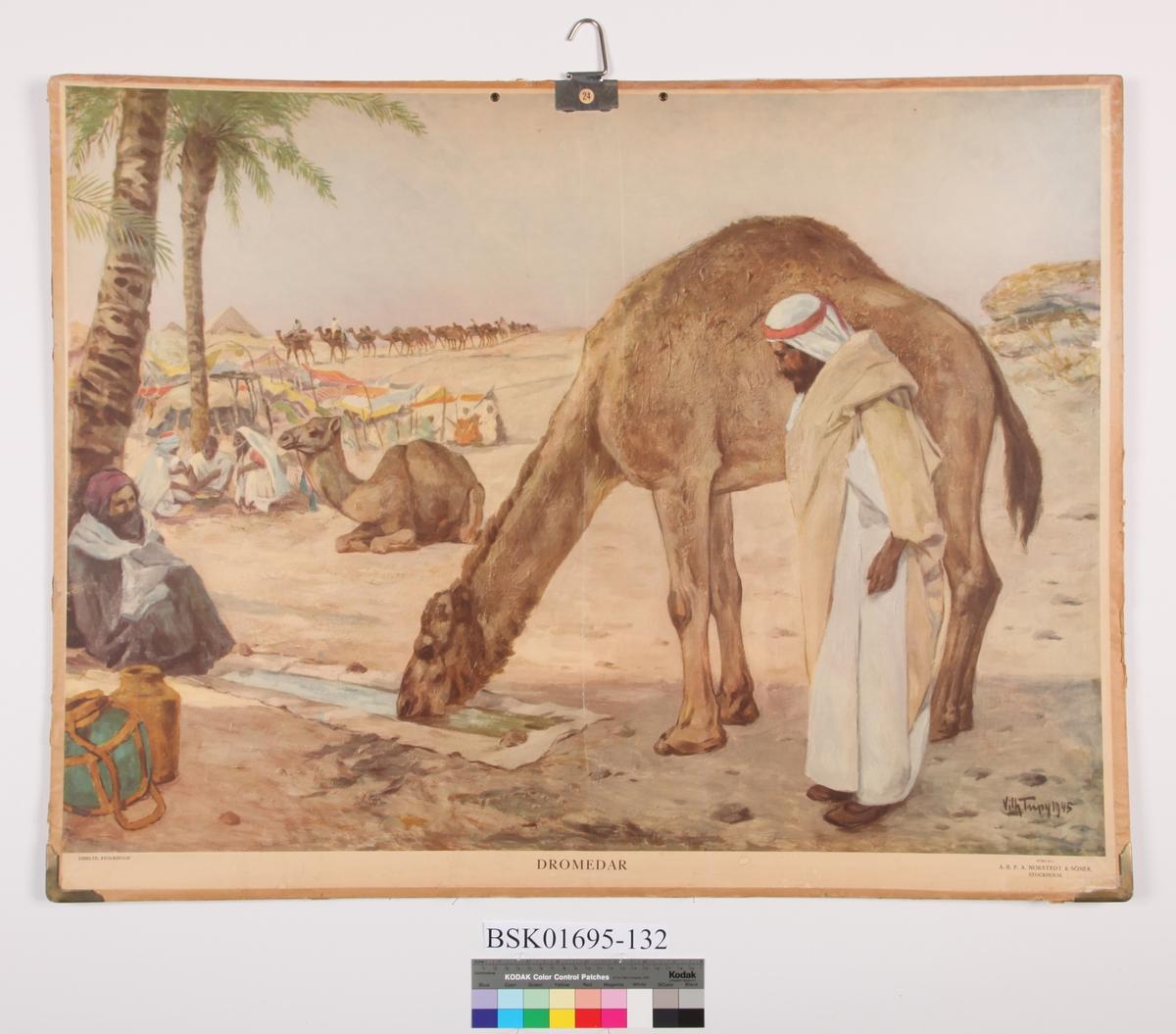 Dromedarer i ørkenen