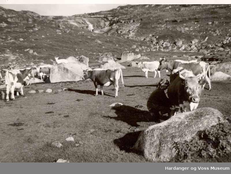 Kvinne, kyr, mjølking, på fjellet. Buskap i Fljotdal