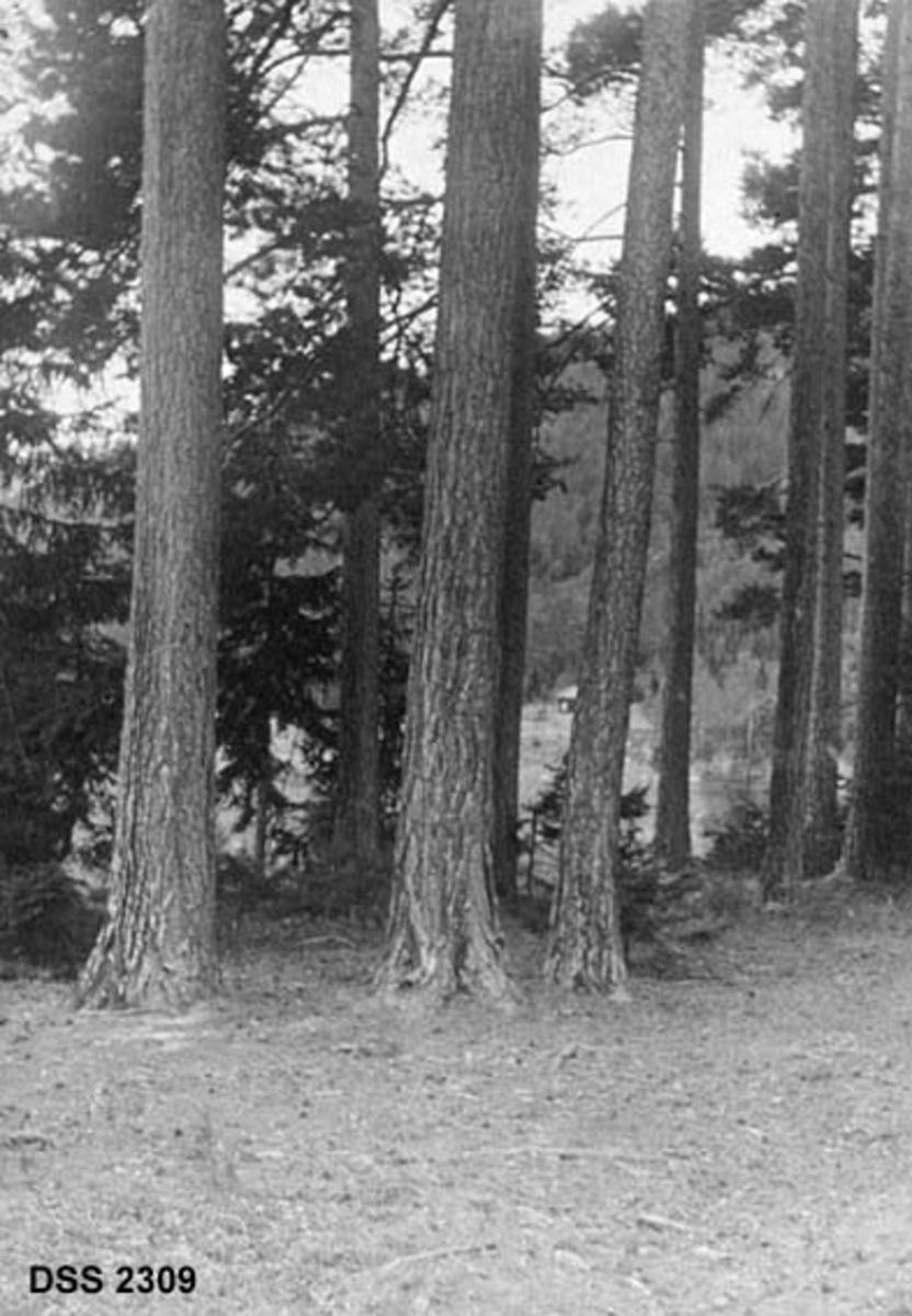 Furubestand.  I forgrunnen nedre del av rettvokste og kvistfrie furustammer, i mellomgrunnen også enkelte granbusker.  I bakgrunnen en skogkledd åskam der vi skimter et hus og engarealer nederst i lia.